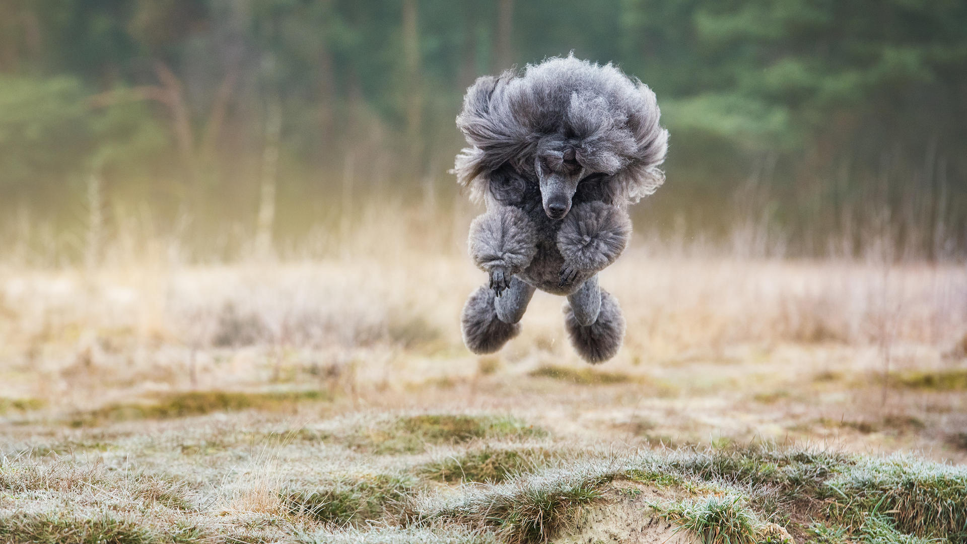 Vliegende-poedel-Kyno-Focus-Hondenfotografie
